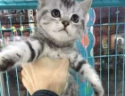 可爱的美短虎斑猫