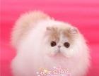 *优美名猫馆* 加菲,英短,美短,豹猫对外配猫