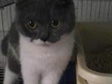 出售自家英短英国短毛猫蓝猫蓝白猫咪500-1500