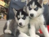珠海哪有哈士奇犬卖 珠海哈士奇犬价格 珠海哈士奇犬多少钱