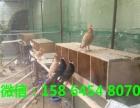 公斤元宝鸽种鸽价格出售珍禽肉鸽价格元宝鸽出售