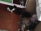 【收养】自家宠物猫求收养