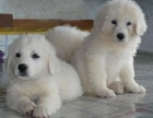 纯种大白熊犬 常年出售丨协议健康丨疫苗驱虫都齐全