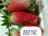 内蒙古法兰帝草莓苗生产厂家 甜宝草莓苗 大棚草莓苗价格