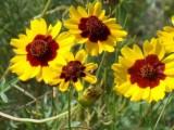 南寧景龍生態大量蛇目菊花卉種子批發