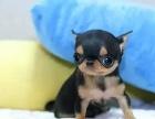 哪里有卖吉娃娃吉娃娃多少钱吉娃娃图片吉娃娃幼犬