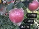 山西运城红富士苹果批发