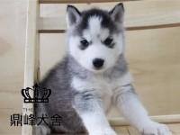 专业繁殖高品质纯血统丨双蓝眼三把火哈士奇幼犬