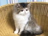 北京专业繁育 高品质 波斯猫 签协议 三针齐全