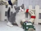 石家庄哪里出售纯种英国蓝白短毛猫纯种英国蓝白短毛猫多少钱一只