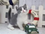 江苏扬州双血统蓝白幼猫优惠出售