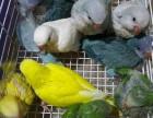 出售和尚鹦鹉 正宗越南鹩哥 金太阳鹦鹉 亚历山大鹦鹉