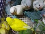 出售和尚鹦鹉 金太阳鹦鹉 亚历山大鹦鹉 吸蜜鹦鹉 越南鹩哥