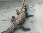 哪里有卖活体鳄鱼的呢