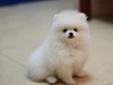 纯种萌宠博美宝宝,专业狗舍品质保证,签协议包活