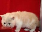 自家繁殖包子脸纯种幼猫一对出售 加菲猫(健康有保障