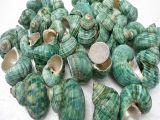 天然海螺贝壳 海螺原材料 绿蝾螺 家居摆设工艺品/鱼缸布景