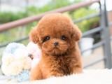 重庆出售泰迪犬 卖泰迪犬 泰迪