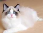 猫舍出售纯种布偶猫 高颜值 公母均有