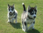 上海三火双蓝眼哈士奇幼犬黑白灰色二哈雪橇 诚信商家