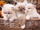 蕪湖CFA專業貓舍 純血統德文卷毛貓 完美品相包養活