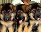 纯种德国牧羊犬健康保证疫苗已做好可放心喂养