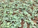 汕头山豆根种苗基地市场价格