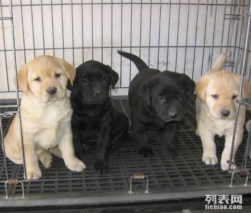 拉布拉多幼犬 黑黄白都有 多只可选 疫苗齐全 血统纯