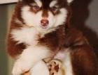 汕头哪里有卖阿拉斯加 潮阳哪里有卖阿拉斯加幼犬