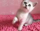 出售精品赛级品相猫咪 完美体形 高品质