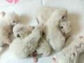 家庭式繁育布偶猫找新家