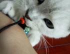 英短银色渐层小公猫