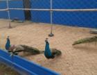 孔雀苗鳄鱼苗多少钱黑天鹅哪里有鸵鸟的价格