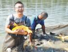 东北200亩渔场批发零售龙凤锦鲤鱼苗观赏鱼
