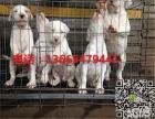 纯种的杜高幼犬多少钱一条,杜高多少钱