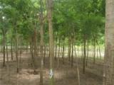 开封25公分金叶槐一级树