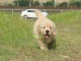 纯种金毛 养殖场专售 先测试犬瘟 细小再抱走