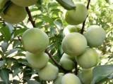 蜂糖李子苗价格,哪里有蜂糖李子果树苗,四川蜂糖李子树苗基地