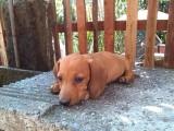 高品质 标准小短腿 大耳朵 机灵可爱 腊肠犬幼犬