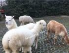 浙江萌宠服务 羊驼出租 羊驼租赁 出租羊驼 租羊驼