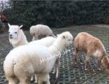 影视活动活动策划、展览租羊驼 庆典活动租羊驼