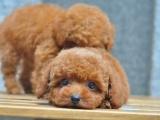 成都 纯种泰迪幼犬 疫苗齐全出售中 可签协议健康保障