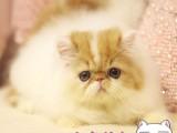 西安波斯猫 长毛波斯猫 白波斯猫 黄波斯蓝眼睛(包纯种健康)