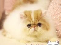 苏州波斯猫 长毛波斯猫 白波斯猫 黄波斯蓝眼睛(包纯种健康)