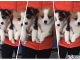 专业打造聪明可爱柯基颜色齐全品相完美高品质柯基幼犬