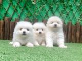 重庆出售 博美幼犬狗狗出售 包纯种 包健康