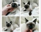 出售泰国皇家猫咪暹罗猫 无病无癣 疫苗齐全
