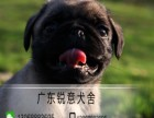 湛江哪里有买卖巴哥幼犬 购买巴哥犬到锐意犬舍 包纯种 健康