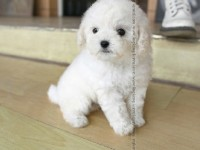 重庆最大狗场 比熊犬等品种三百起 特价直销世界名犬