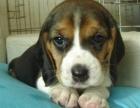 杭州比格犬幼犬出售 双血统比格犬 中型犬比格犬活体宠物狗狗